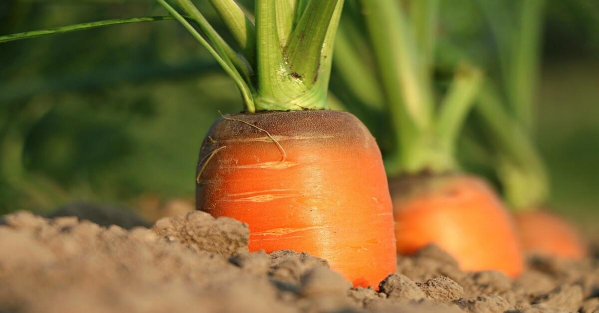 trồng cà rốt vào mùa xuân